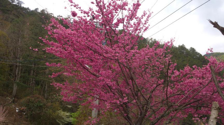 為什麼亞熱帶地區也看得到溫帶果樹?漫談落葉樹的冬季休眠機制